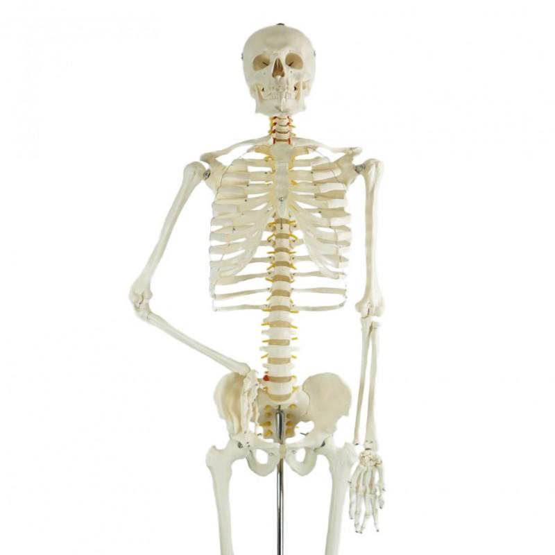 Szkielet człowieka - model anatomiczny - 180 cm