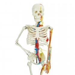 Szkielet człowieka - model anatomiczny - 80 cm
