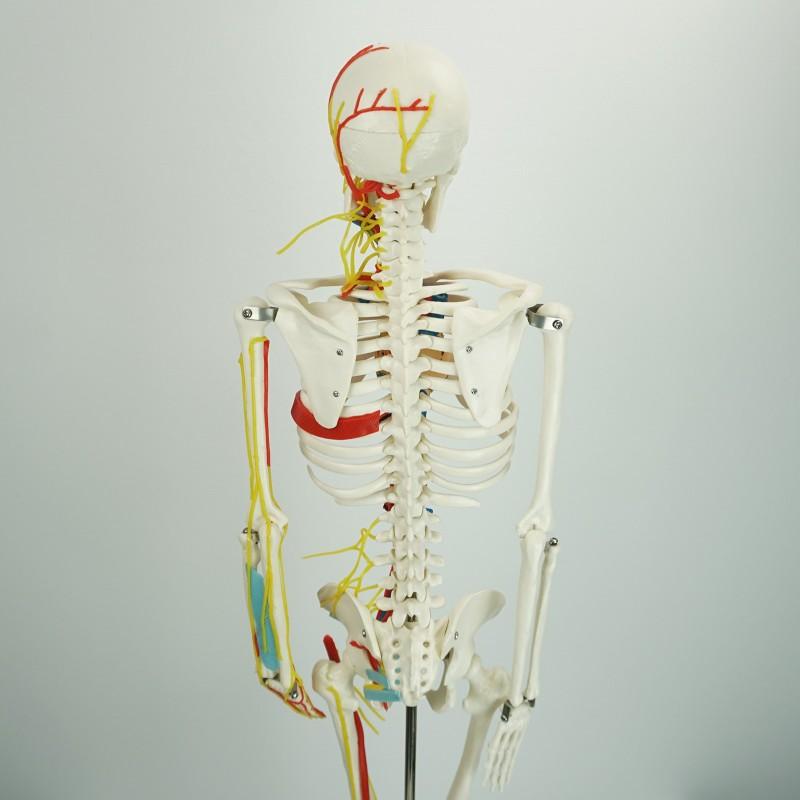 Szkielet Człowieka Model Anatomiczny 80 Cm