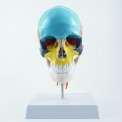 Model czaszki - 30 cm