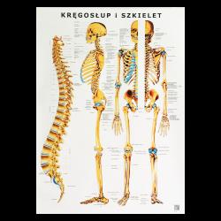 Plakat - plansza anatomiczna - kręgosłup i szkielet - 85 x 55 cm