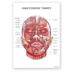 Plakat anatomiczny - unaczynienie twarzy - 50 x 70 cm