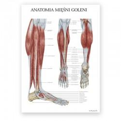 Plakat anatomiczny - mięśnie goleni - 50 x 70 cm