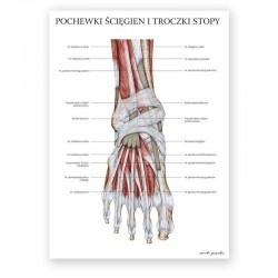 Plakat anatomiczny - mięśnie stopy - 50 x 70 cm