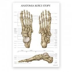 Plakat anatomiczny - kości stopy - 50 x 70 cm