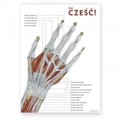 Plakat anatomiczny - anatomia ręki - 50 x 70 cm