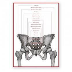 Plakat anatomiczny - miednica żeńska - 50 x 70 cm