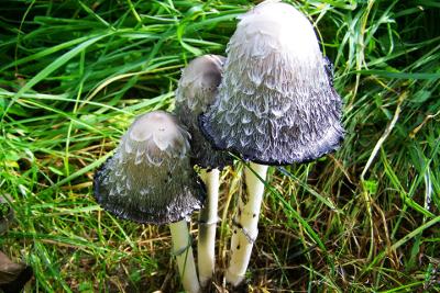 cordyceps grzyb leczniczy